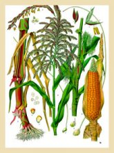 Botanical painting of maize