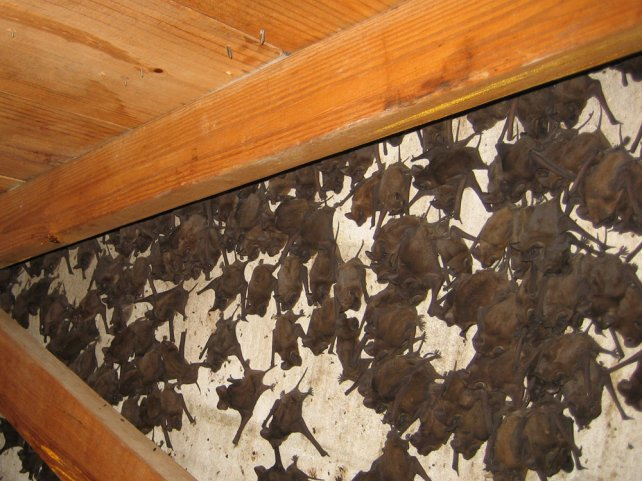 Florida Bat Control and Bat Removal in Miami, Tampa, Jacksonville, FL