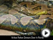 16-foot python devours deer in Florida